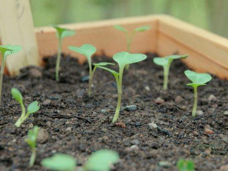 Как правильно выращивать рассаду цветной капусты?