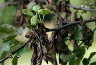 скрученные листья на груше