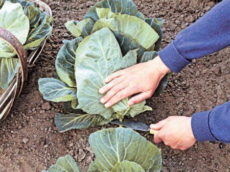 убрать капусту