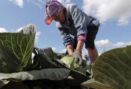 Процесс уборки капусты