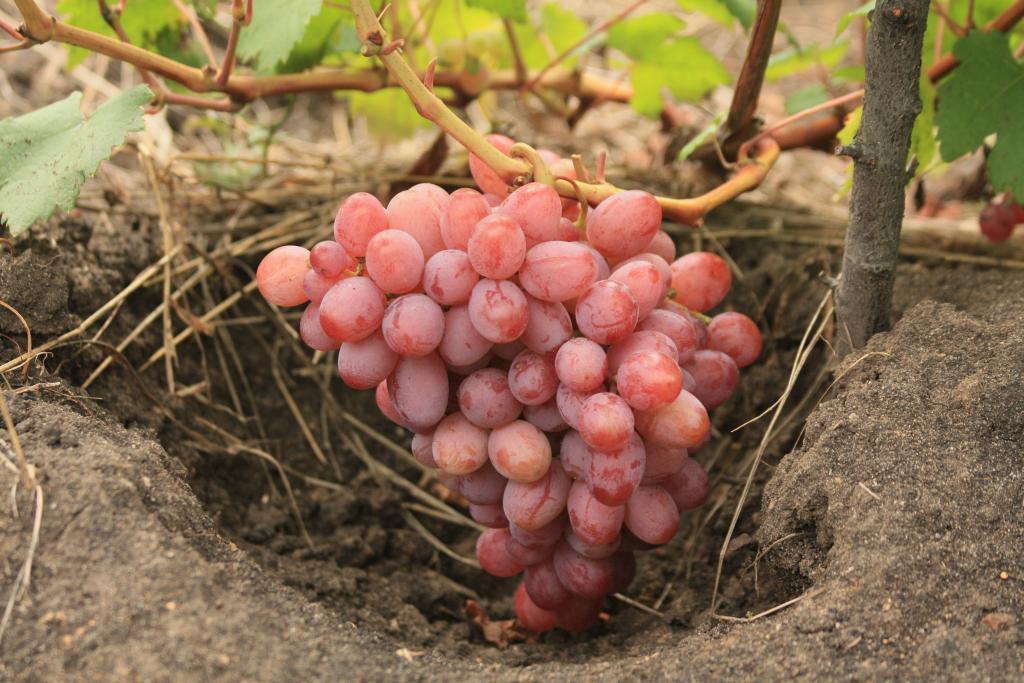характеристика винограда