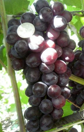 Виноград тройка павловского
