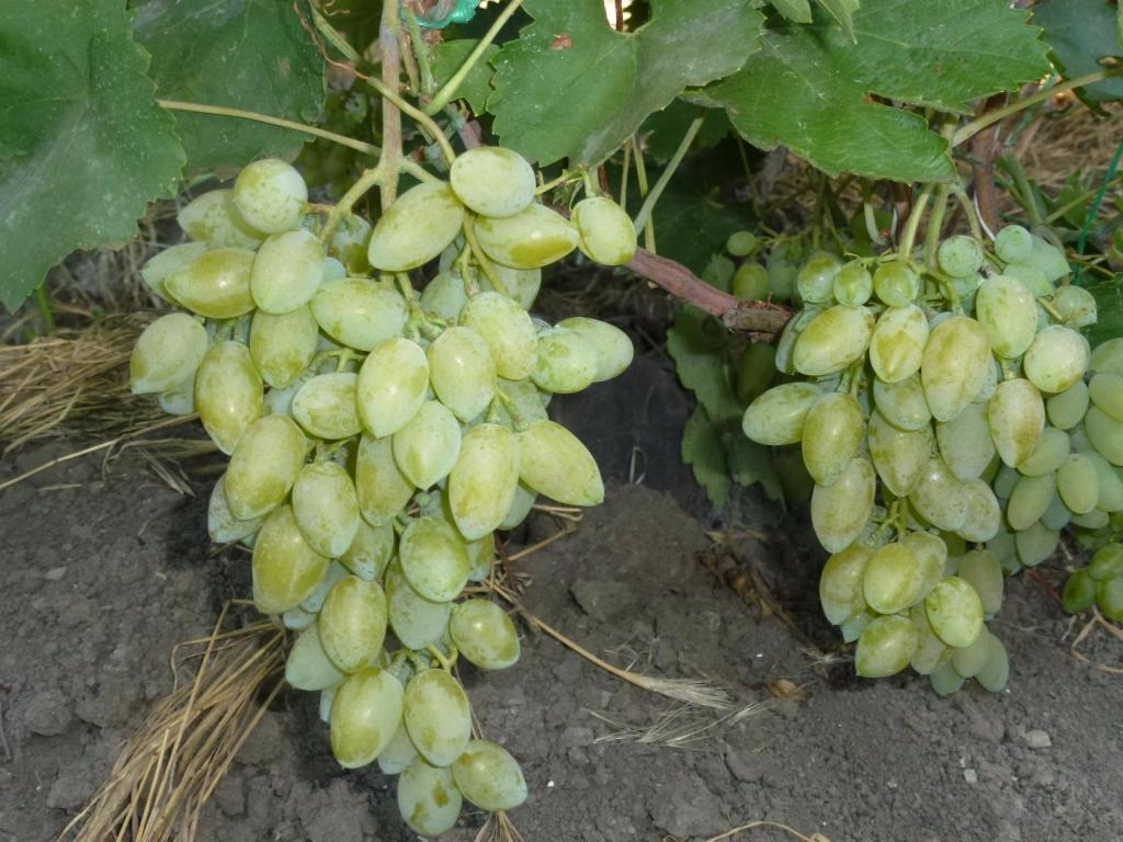сделал этот виноград тимур фото описание интернете