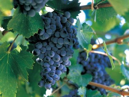 Крупноплодные сорта винограда для средней полосы России: отзывы