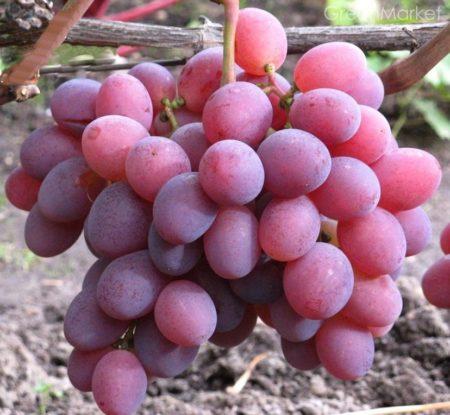 Самый редкий сорт винограда