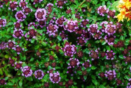 Тимьян ползучий: посадка и уход в открытом грунте, выращивание и сочетание в ландшафтном дизайне, фото, размножение сорта
