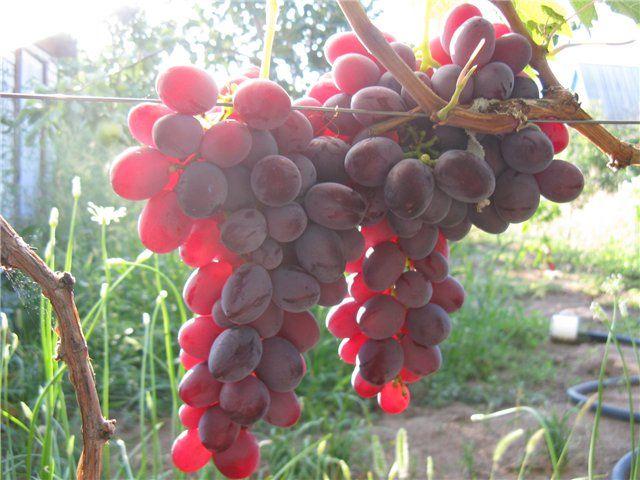 Рубиновый юбилей - сорт винограда