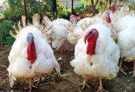 Индюки Биг 6: разведение и выращивание