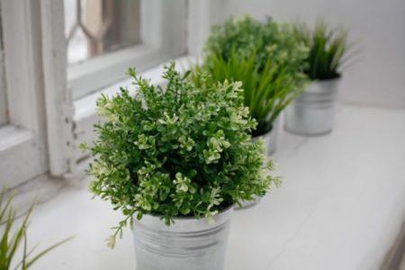 Можно ли выращивать тимьян в домашних условиях?