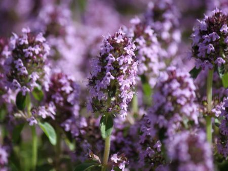 Тимьян пурпурно фиолетовый
