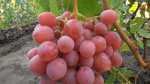 винограда Дашуня