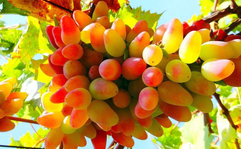 сорт виноград Дамские пальчики