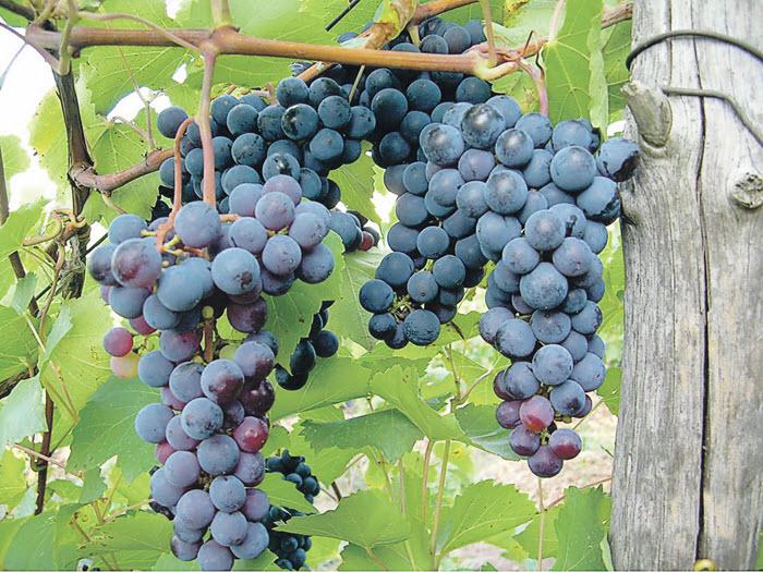 сорт виноград Левокумский