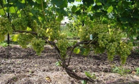 Как правильно обрезать лозу винограда осенью