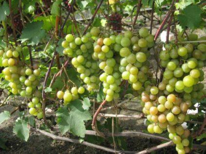Посадка и уход за виноградом в Сибири для начинающих (30 фото): когда открывать после зимы и как вырастить