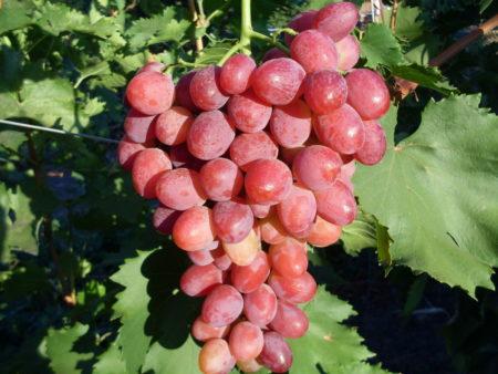 Ягоды винограда рубиновый юбилей