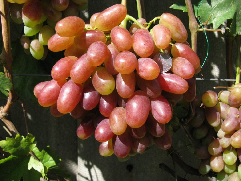 Виноград ризамат фото описание и характеристика