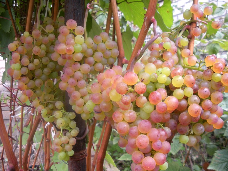 Виноград сорта Коринка