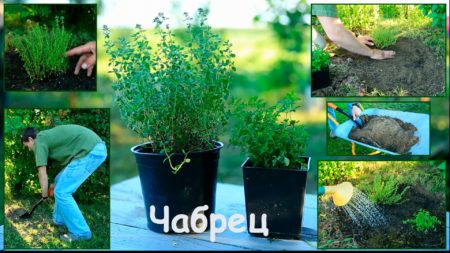 Выращивание тимьяна из семян в домашних условиях