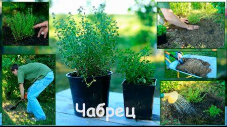 Тимьян лимонный посадка и уход в открытом грунте
