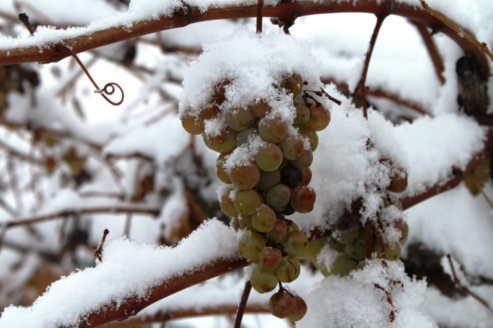 Подготовка винограда к зиме: как обрезать, обработка перед укрытием