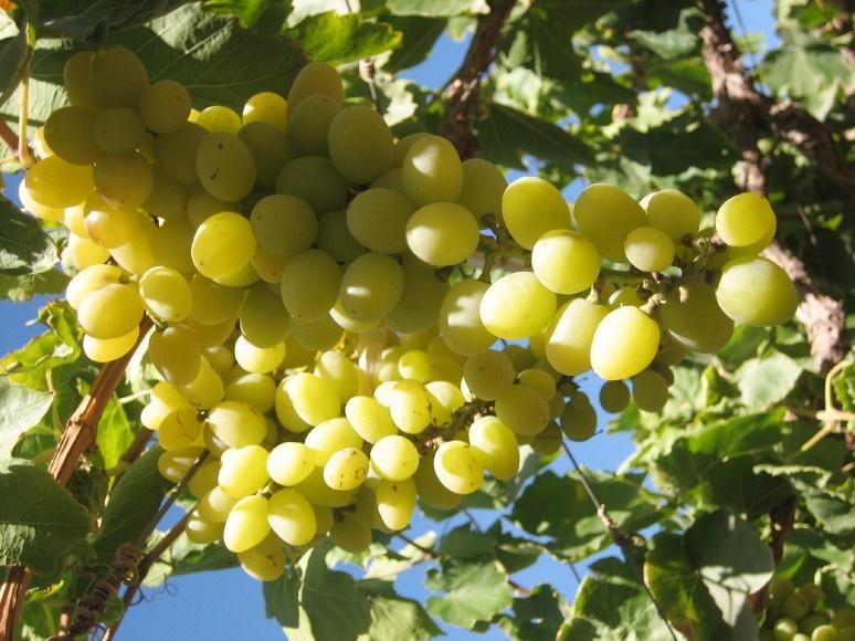 Виноград Московский белый безукрывной