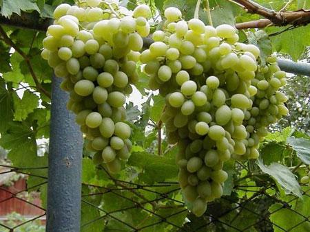 Сорт винограда московский устойчивый фото и описание