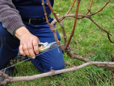 Виноградная лоза осенью что делать