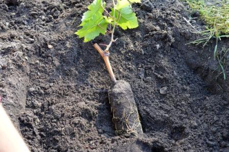 Посадка винограда