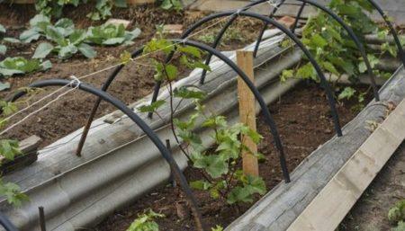 посадить виноград черенками (чубуками)