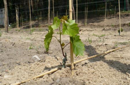 Сорт винограда Шардоне описание и характеристики выращивание с фото