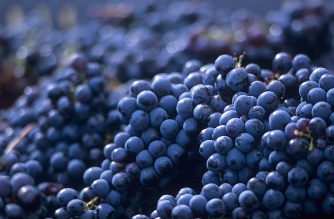 Суперранние сорта винограда для средней полосы