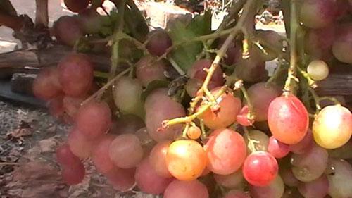 куст винограда Дашуня