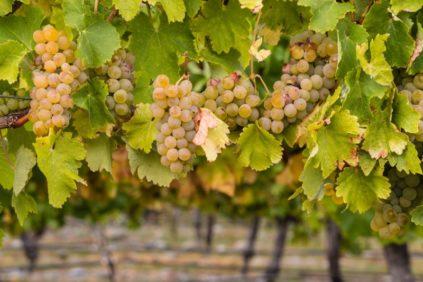 сорт винограда Шардоне