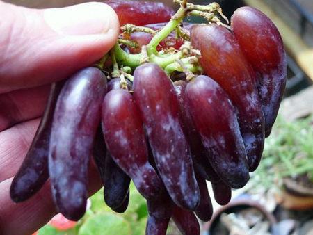 Виноград ведьмины пальчики