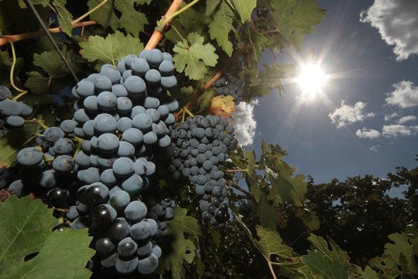 Ранний виноград мускат розовый. Мускатные сорта винограда – обзор с фото