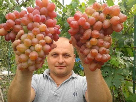 Виноград в теплице на даче: посадка и уход, выращивание, лучшие сорта, схема обрезки