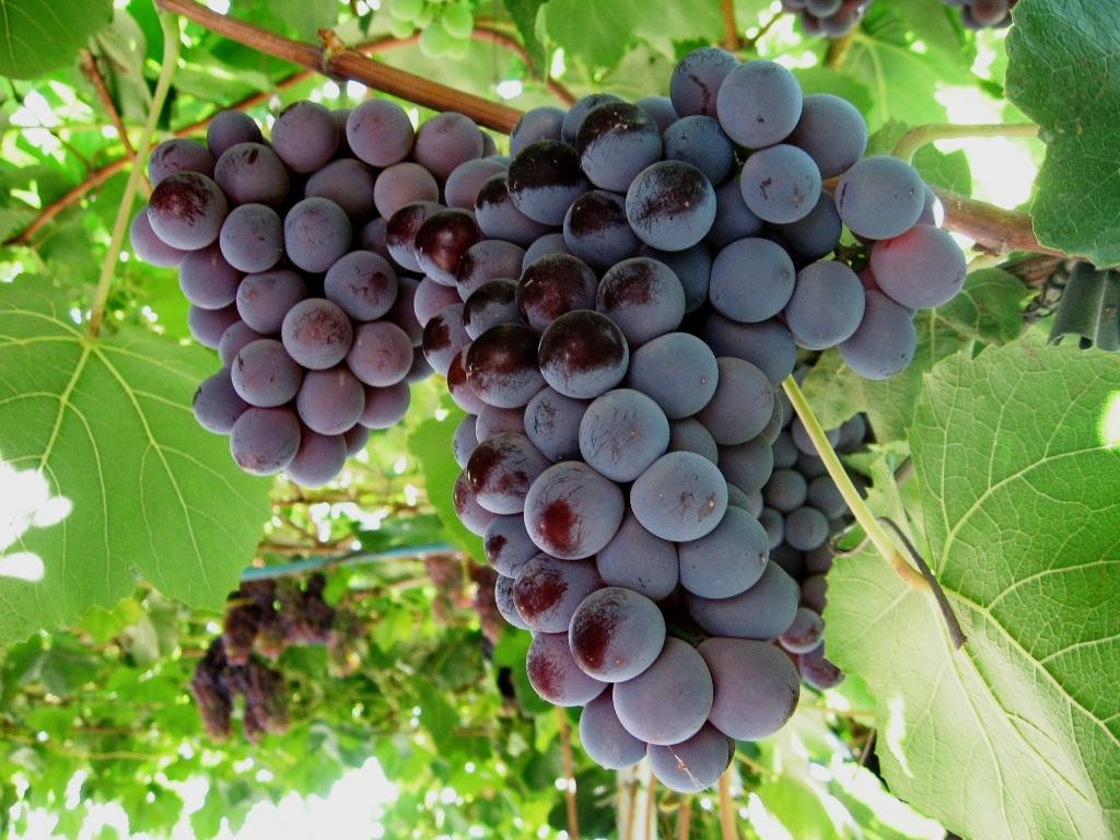 сорт виноград Кардинал