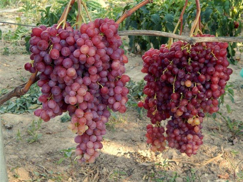 сорт виноград Велес