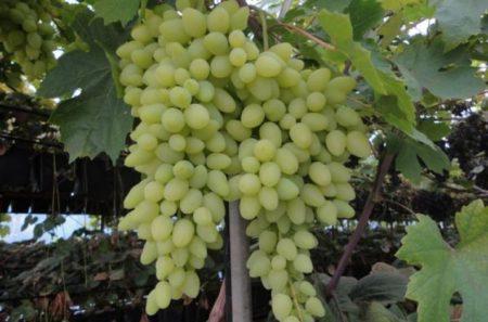 Виноград долгожданный описание сорта