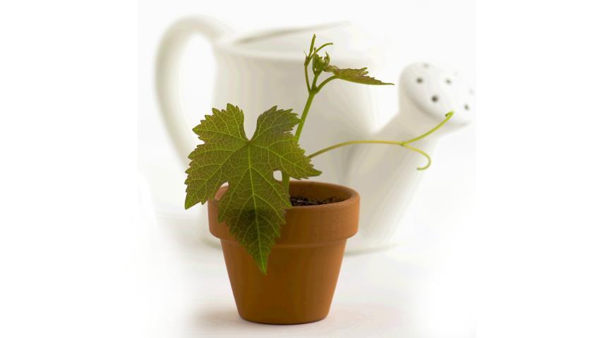 Вырастить виноград из косточки в домашних условиях