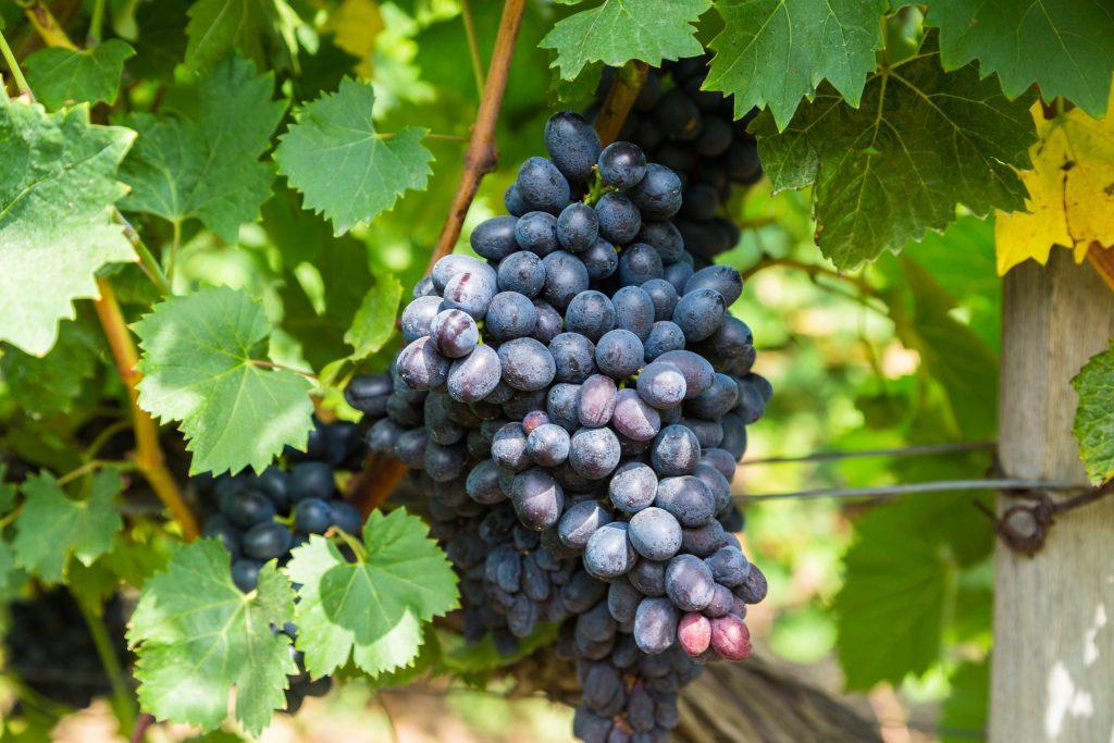 заказать виноград фуршетный описание сорта фото цветы