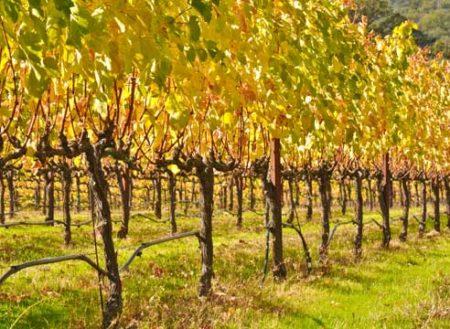 осень виноград