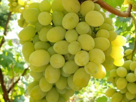 Виноград плевен мускат