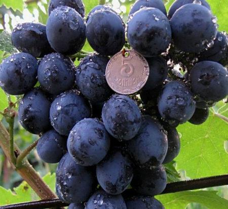 Виноград сфинкс описание сорта фото, видео