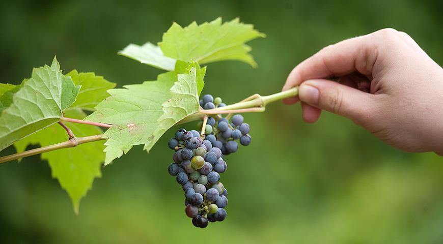 Лучшие сорта винограда для Подмосковья для открытого грунта