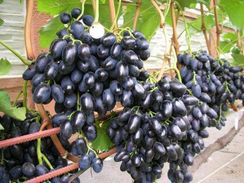 Виноград ромбик описание сорта фото отзывы