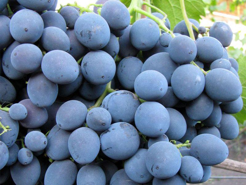 Виноград Страшенский