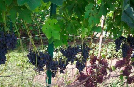Виноград Викинг описание сорта и характеристики плюсы и минусы с фото