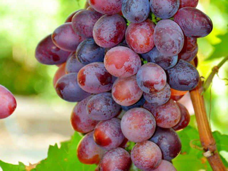 Виноград «Виктория»
